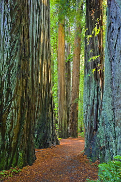 Coast Redwood (Sequoia sempervirens) trees, Jedediah Smith Redwoods State Park, California