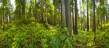 Coast Redwood (Sequoia sempervirens) trees, 360 degree view, Redwood National Park, California