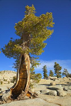 Western Juniper (Juniperus occidentalis) trees, Tioga Pass, Yosemite National Park, California