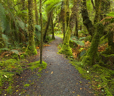 Silver Tree Fern (Cyathea dealbata) group and path in forest, South Island, New Zealand
