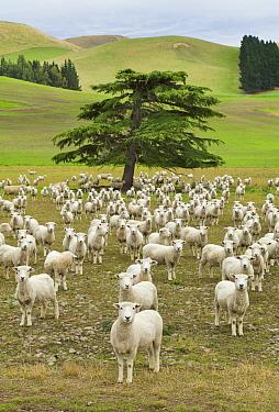 Domestic Sheep (Ovis aries) freshly shorn flock, Kaikoura, South Island, New Zealand