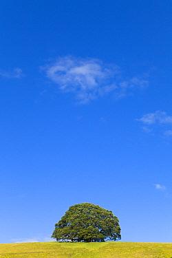 Pohutukawa (Metrosideros excelsa) tree, North Island, New Zealand