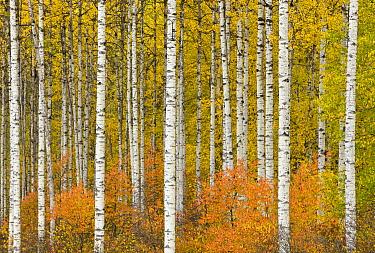 Quaking Aspen (Populus tremuloides) trees in autumn, Stewart-Cassiar Highway, British Columbia, Canada