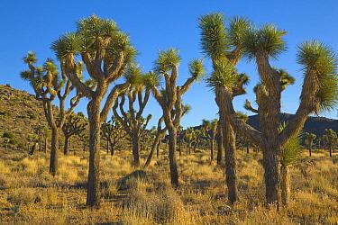 Joshua Tree (Yucca brevifolia) trees, Mojave Desert, Joshua Tree National Park, California