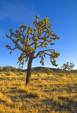 Joshua Tree (Yucca brevifolia), Mojave Desert, Joshua Tree National Park, California