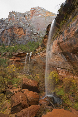 Cottonwood (Populus sp) trees and waterfalls, Zion Canyon, Zion National Park, Utah