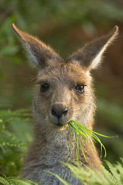 Eastern Grey Kangaroo (Macropus giganteus) male joey grazing, Yuraygir National Park, New South Wales, Australia