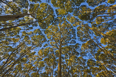 Gum Tree (Eucalyptus sp) forest, New South Wales, Australia