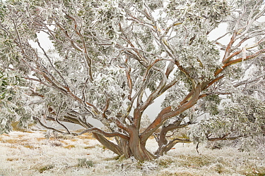 Gum Tree (Eucalyptus sp) tree with snow, Great Dividing Range, Alpine National Park, Victoria, Australia