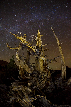Great Basin Bristlecone Pine (Pinus longaeva) tree at night with milky way, Inyo National Forest, White Mountains, California