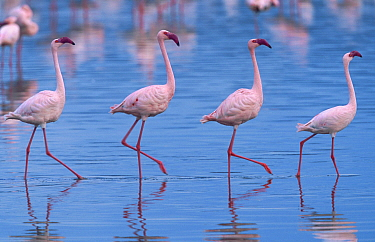 Lesser Flamingo (Phoenicopterus minor) group wading, Lake Nakuru National Park, Kenya