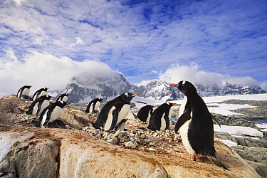Gentoo Penguin (Pygoscelis papua) rookery on mountains, Port Lockroy, Antarctic Peninsula, Antarctica