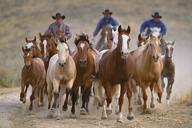 Mustang (Equus caballus) group running as they are rounded up, Red Desert, Wyoming
