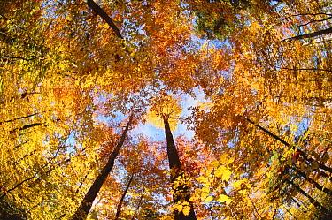 Sugar Maple (Acer saccharum) grove in autumn, Adirondack Park and Preserve, New York