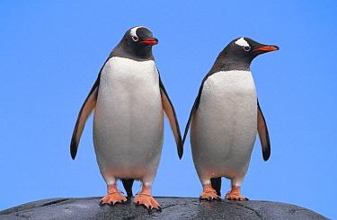 Gentoo Penguin (Pygoscelis papua) pair, Port Lockroy, Antarctic Peninsula, Antarctica