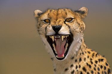 Cheetah (Acinonyx jubatus) female yawning, Masai Mara, Kenya