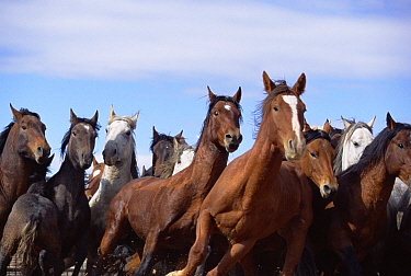 Mustang (Equus caballus) group running in coral after being rounded up, Wyoming
