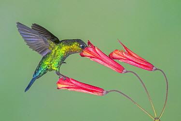 Fiery-throated Hummingbird (Panterpe insignis) feeding on flower nectar, Costa Rica