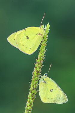 Pink-edged Sulphur (Colias interior) butterflies, Brighton Recreation Area, Michigan