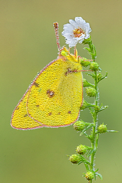 Pink-edged Sulphur (Colias interior) butterfly covered with dew, Brighton Recreation Area, Michigan