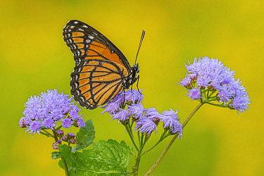 Viceroy (Basilarchia archippus) butterfly, Brighton Recreation Area, Michigan