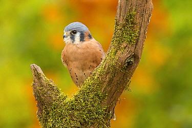 American Kestrel (Falco sparverius) male, native to North America