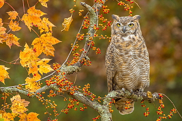Great Horned Owl (Bubo virginianus), native to North America