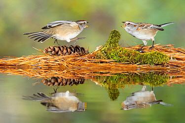 American Tree Sparrow (Spizella arborea) pair fighting at pond, Brighton Recreation Area, Michigan