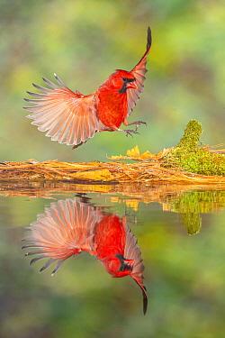 Northern Cardinal (Cardinalis cardinalis) male landing at pond, Brighton Recreation Area, Michigan