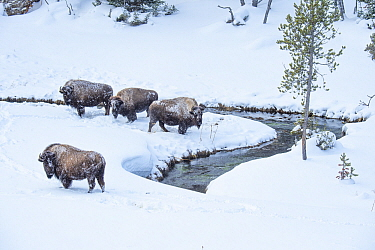American Bison (Bison bison) group along river in winter, Yellowstone National Park, Wyoming