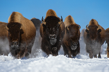 American Bison (Bison bison) herd in winter, Yellowstone National Park, Wyoming