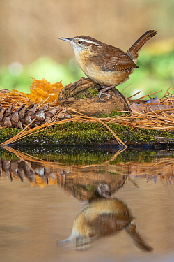 Carolina Wren (Thryothorus ludovicianus) at pond, Brighton Recreation Area, Michigan