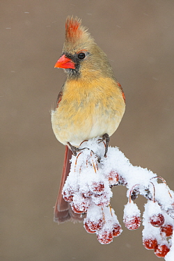 Northern Cardinal (Cardinalis cardinalis) female in winter, Brighton Recreation Area, Michigan