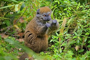 Alaotran Gentle Lemur (Hapalemur griseus alaotrensis) feeding, native to Madagascar