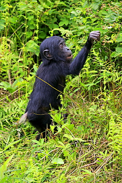 Bonobo (Pan paniscus) young foraging, native to central Africa