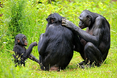Bonobo (Pan paniscus) females grooming near young, native to central Africa