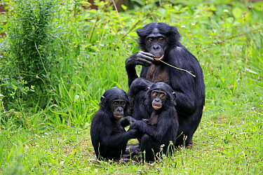 Bonobo (Pan paniscus) mother feeding with young playing, native to central Africa