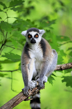Ring-tailed Lemur (Lemur catta), native to Madagascar
