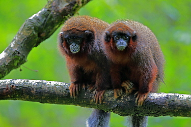 Dusky Titi Monkey (Callicebus moloch) pair, native to South America