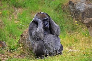 Gorilla (Gorilla gorilla) female, native to Africa