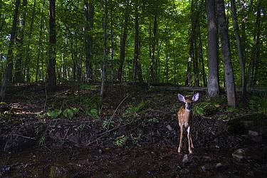 White-tailed Deer (Odocoileus virginianus) fawn in forest, Farmington, Connecticut