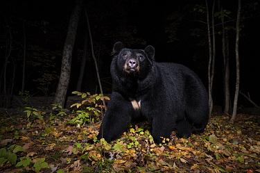 Black Bear (Ursus americanus) at night, Farmington, Connecticut