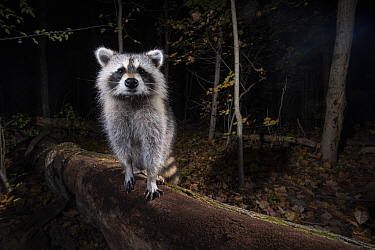 Raccoon (Procyon lotor) in forest at night, Farmington, Connecticut