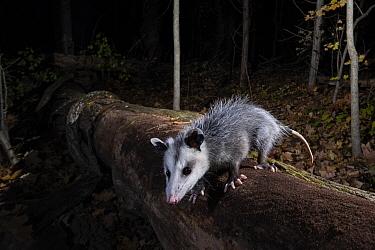 Virginia Opossum (Didelphis virginiana) in forest at night, Farmington, Connecticut