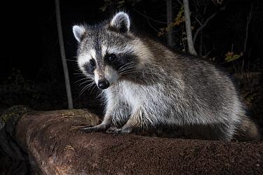 Raccoon (Procyon lotor), Farmington, Connecticut
