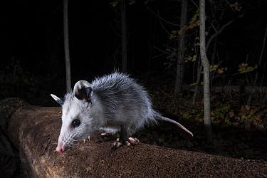 Virginia Opossum (Didelphis virginiana), Farmington, Connecticut