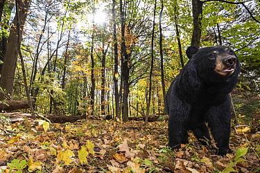 Black Bear (Ursus americanus) in forest, Farmington, Connecticut