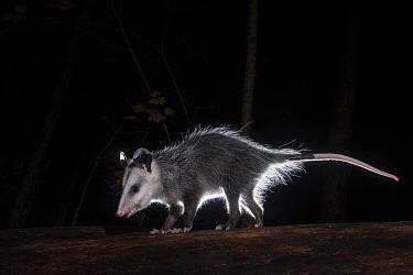 Virginia Opossum (Didelphis virginiana) at night, Farmington, Connecticut