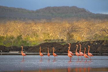 Greater Flamingo (Phoenicopterus ruber) flock in wetland, Punta Cormorant, Floreana Island, Galapagos Islands, Ecuador