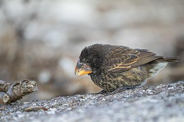 Large Ground Finch (Geospiza magnirostris) feeding, Genovesa Island, Galapagos Islands, Ecuador